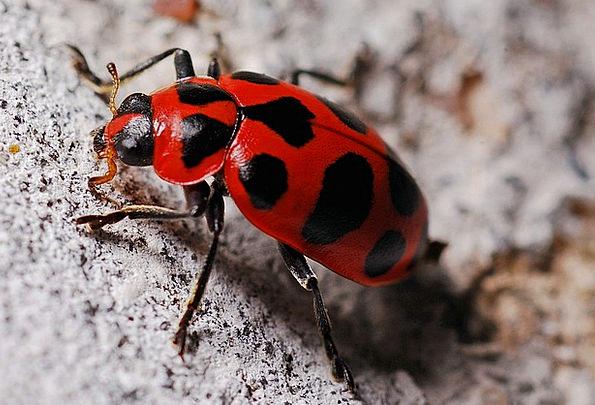 Ladybug Instruction Insect Bug Macro Biology Ecolo