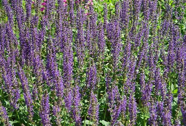 Wild Sage Landscapes Floret Nature Violet Mauve Fl