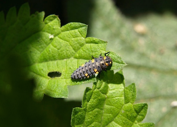 Marienkäfer Larva Grub Insect Bug Larva Ladybug Be