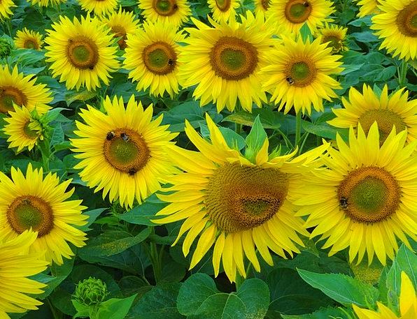 Sun Flower Straw-hat Bees Summer Hummel Yellow Sun