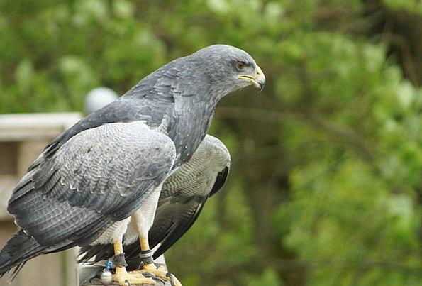 Adler Raptor Bird Of Prey Bird Fowl Birds Of Prey
