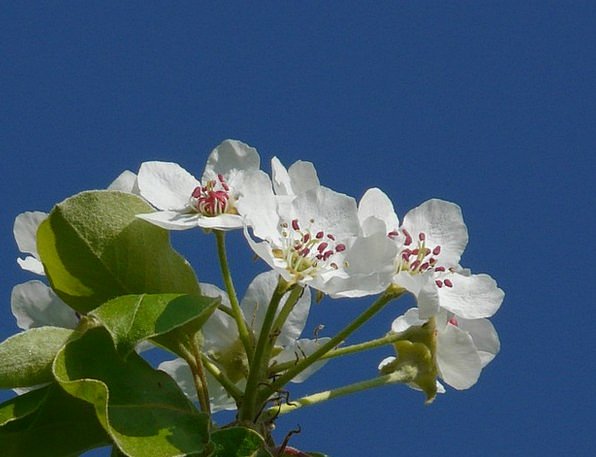 Pear Blossom Flower Floret Pear Bloom White Macro
