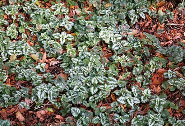 Ground Cover Leaves Greeneries Ordinary Goldnessel