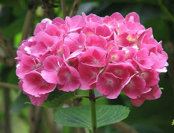 Hydrangea Landscapes Nature Grow Produce Bloom Moo