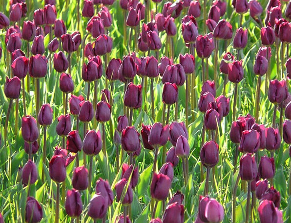 Tulip Field Violet Mauve Tulips Dark Purple Flower