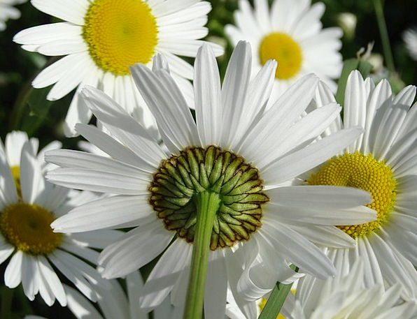 Daisy Plants Meadow Field Flowers Summer Meadow Ye