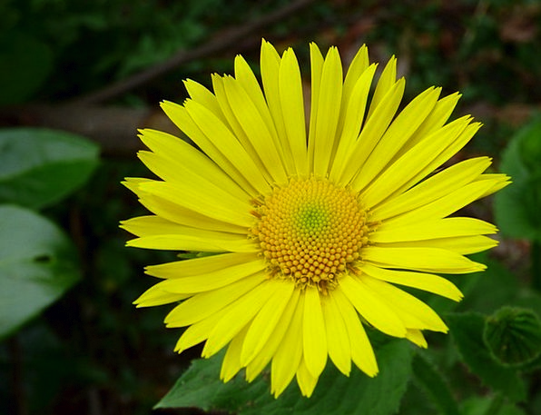 Spanish Yellow Daisy Floret Yellow Creamy Flower