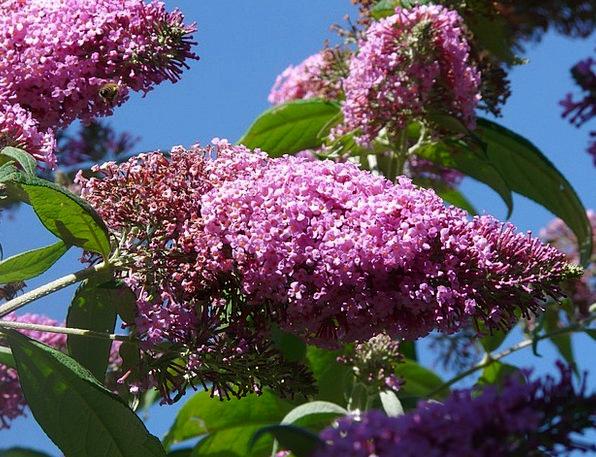 Buddleja Davidii Bush Scrubland Summer Lilac Flowe