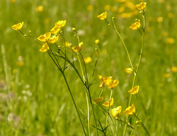 Buttercup Landscapes Field Nature Pointed Flower M