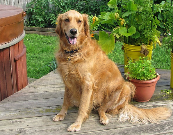 Golden Retriever Canine Pet Domesticated Dog Compa