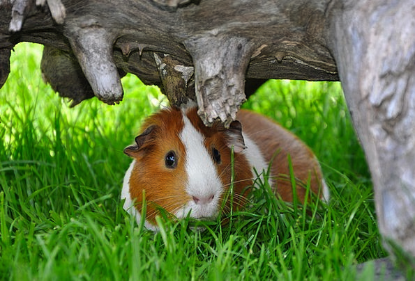 Guinea Pig Animal Physical Smooth Hair Rodent Nage