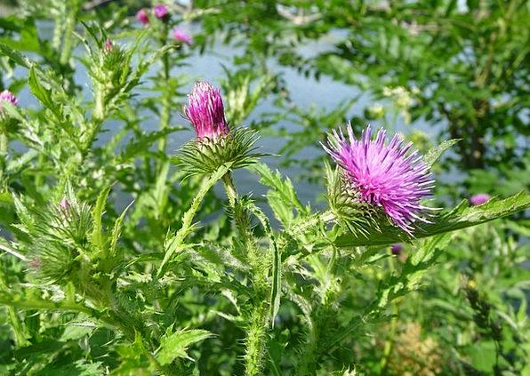 Welted Thistle Landscapes Vegetable Nature Flower
