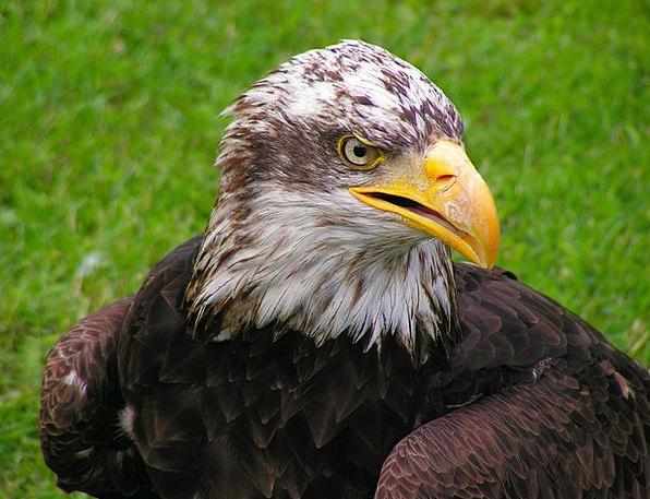 Bald Eagle Skull Cub Novice Head Eagle Portrait Be