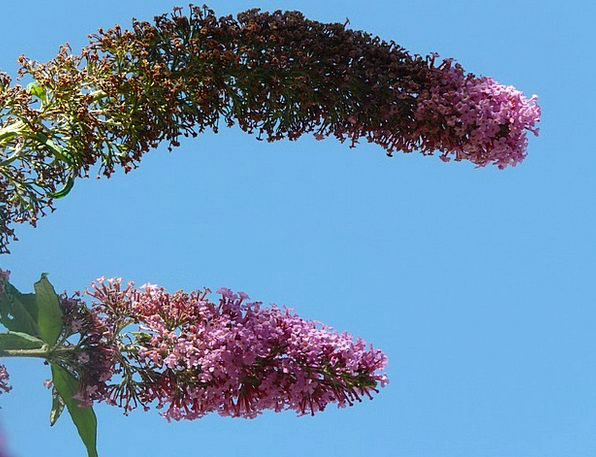 Flowers Plants Pink Flushed Inflorescences Buddlej