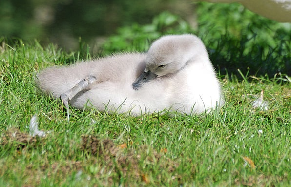 Mute Swan Cygnus Olor Cygnet Bird Fowl Close-Up De