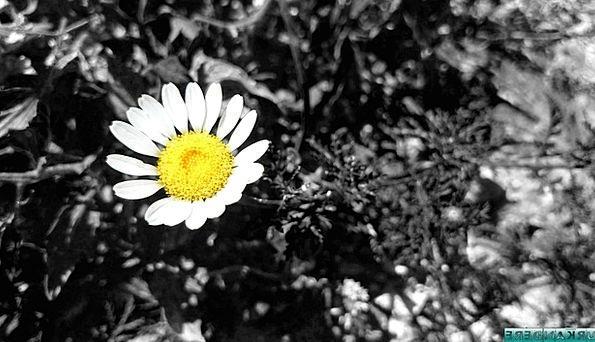 Daisy Floret Flowers Plants Flower