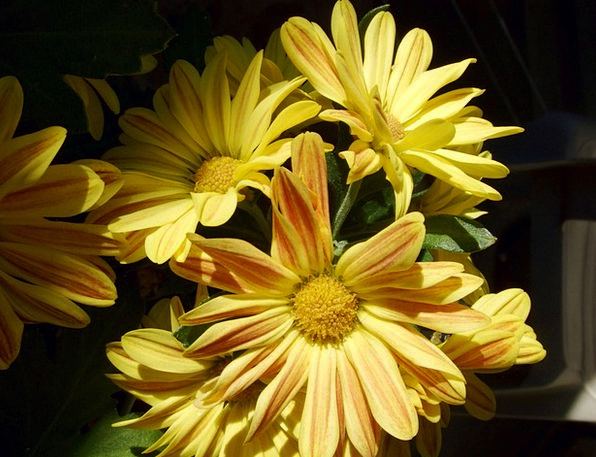 Flowers Plants Creamy Daisies Yellow Petals Floral
