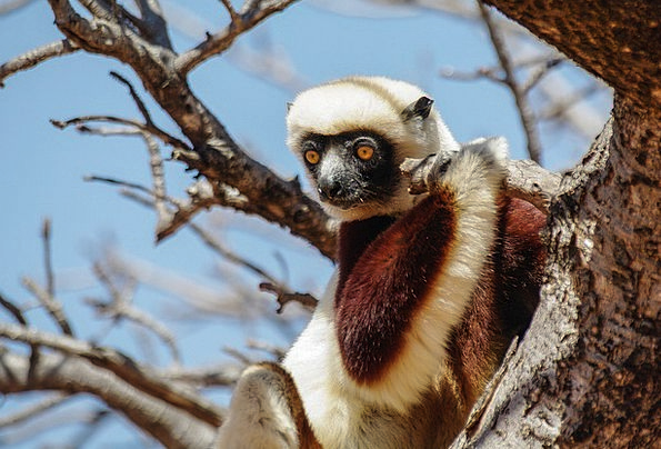 Lemur Ape Animal Physical Monkey Outdoors Wildlife