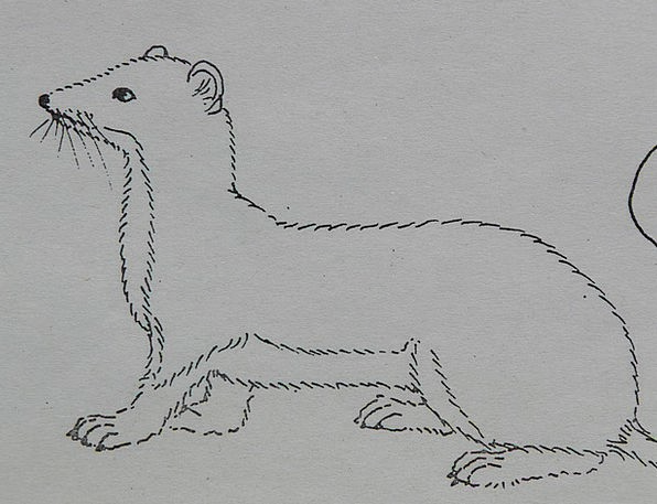 Ermine Physical Coloring Pages Animal Paint Dye Dr