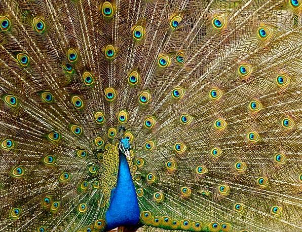 Peacock Showoff Down Bird Fowl Plumage Green Peafo