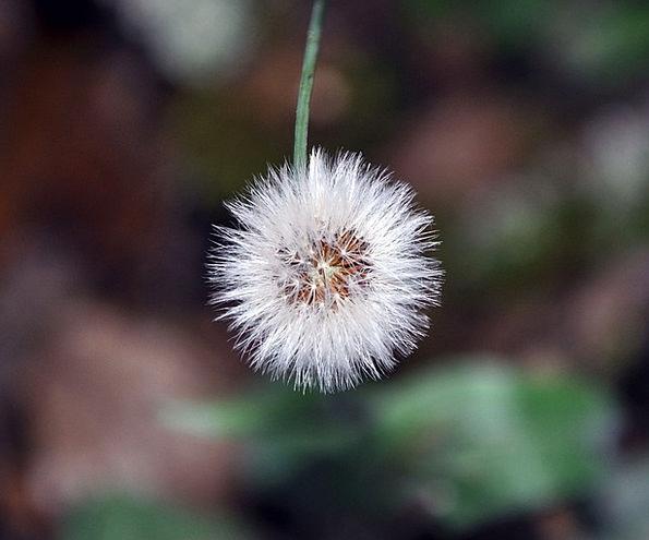 Dandelion Landscapes Instruction Nature Nature Cou