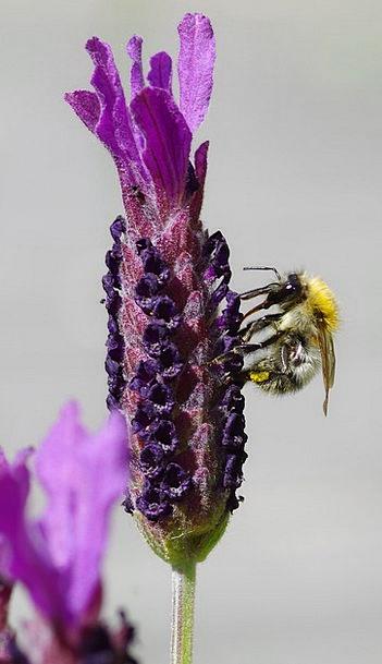 Lavender Flower Floret Lavender Blossom Wing Humme