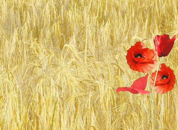 Red Poppy Landscapes Nature Corn Field Papaver Rho