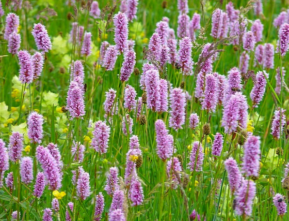 Riedwiese Meadow Landscapes Nature Wiesenknöterich