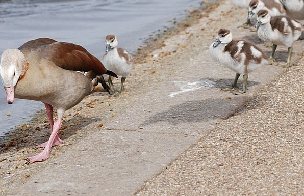 Geese Duck Gosling Waterfowl Chicks Chickens Mothe