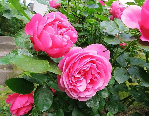 Rose Design Lush Luxurious Double Flower Garden Pl