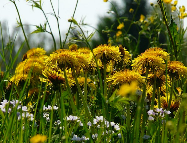 Dandelion Landscapes Field Nature Grass Lawn Meado