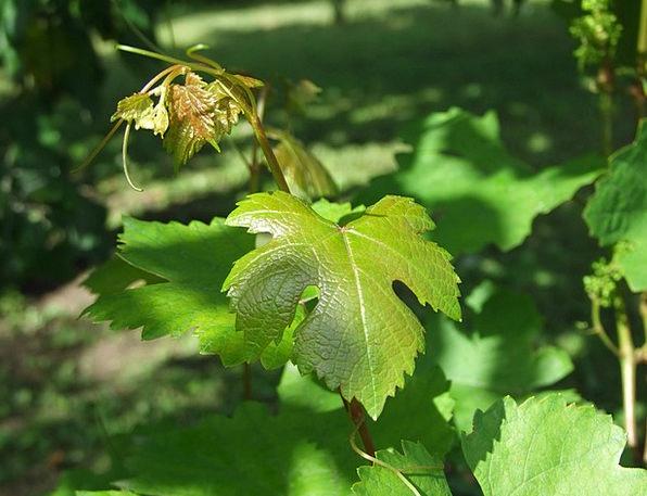 Grape Drink Food Vine Branches Grape Leaf White Gr