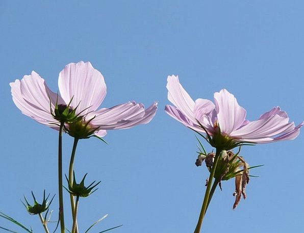 Cosmos Universe Flowers Plants Cosmos Bipinnatus B