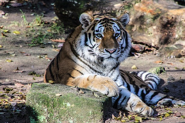 Tiger Physical Cat Feline Animal Dangerous Unsafe