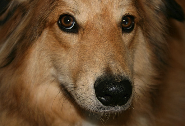 Dog Canine Animal Physical Collie