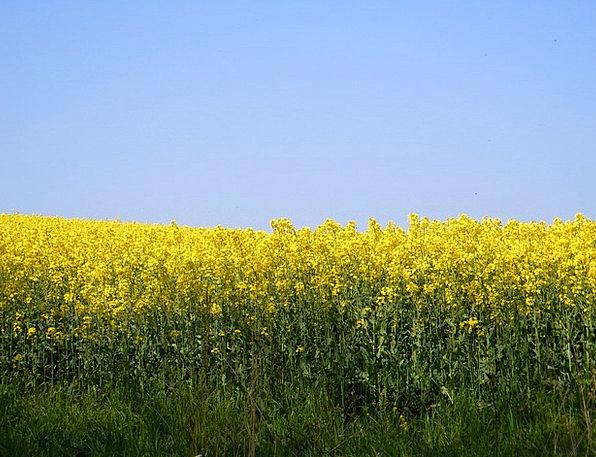 Rape Blossom Farbenpracht Field Of Rapeseeds