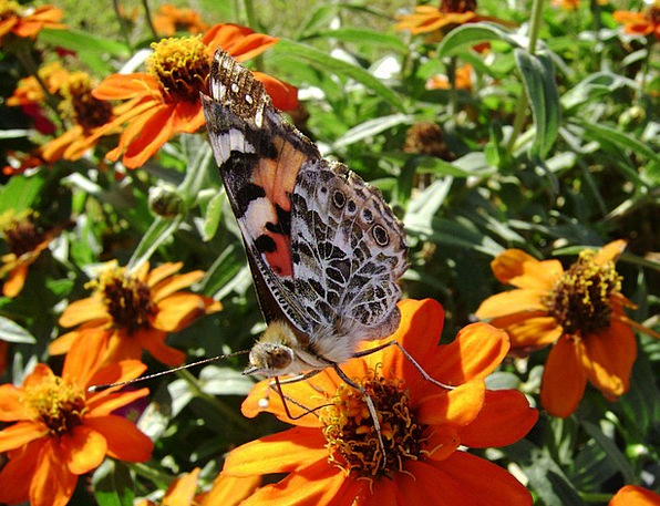 Butterfly Bugs Orange Carroty Insects Flower Flore