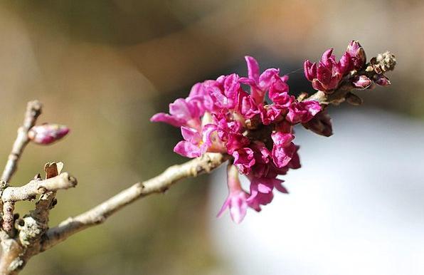 Daphne Harbinger Of Spring Flowering Twig