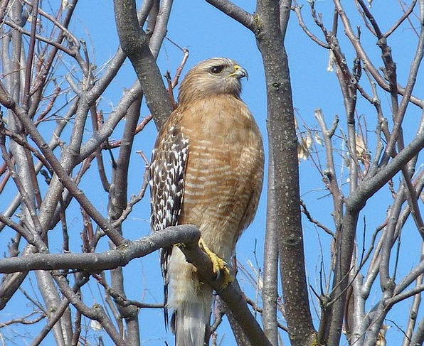 Hawk Warmonger Fowl Tree Sapling Bird Raptor Fauna