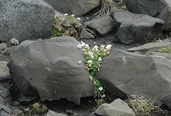 Iceland Landscapes Nature Flower Floret Volcano En