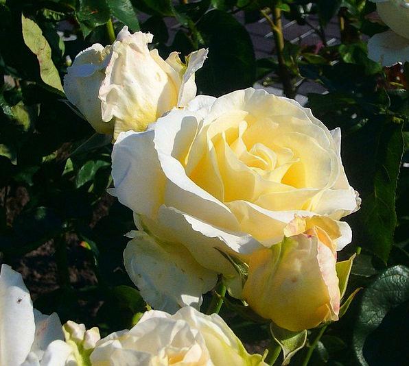 Rose Design Snowy Flower Floret White Dufted