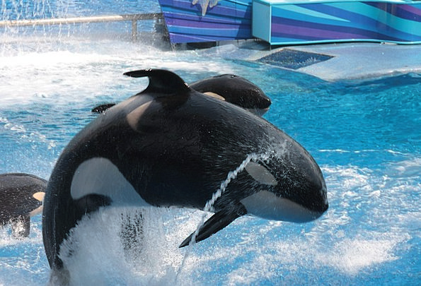 Seaworld Orca Florida Free Willi Shamu Killer Choi
