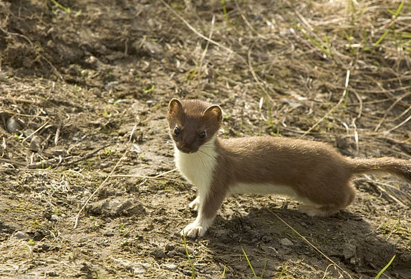 Short-Tailed Weasel Physical Weasel Animal Rodent