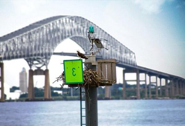 Bird Aquatic Bridge Bond Water Watching Maryland F
