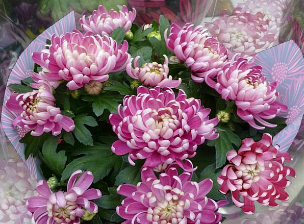 Chrysanthemums Bouquet Fall Reduction Autumn Chrys