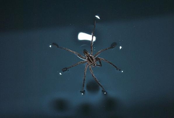 Linyphia Triangularis Water Aquatic Spider