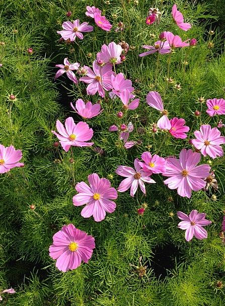 Flower Floret Landscapes Flushed Nature Cosmos Uni