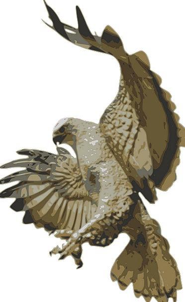 Eagle Fowl Flying Hovering Bird Falcon Wildlife Po