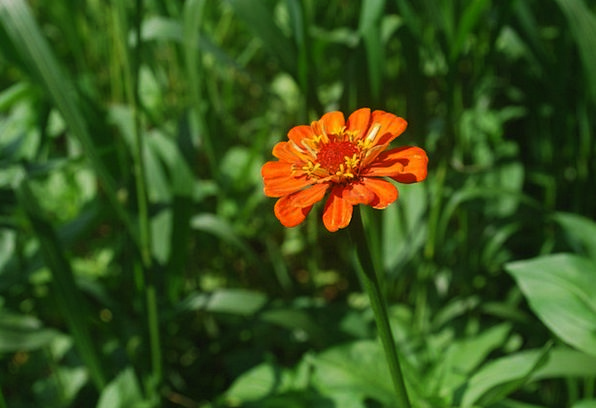 Zinnia Floret Orange Carroty Flower Petals Gardeni