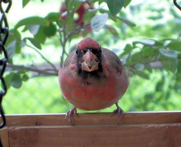 Cardinal Basic Fowl Red Bloodshot Bird Nature Coun